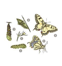 metamorphosis swallowtail - papilio machaon vector image
