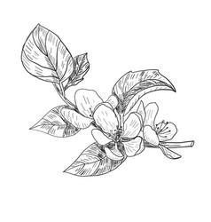 Sketch twig sakura blossoms vector