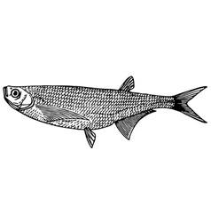 Fish ziege sabre carp vector