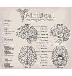 Medical anatomy human brain medicine vector