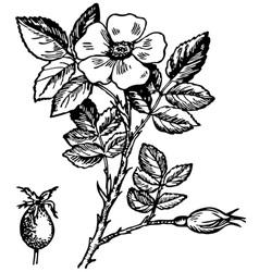 dog rose flower vector image vector image