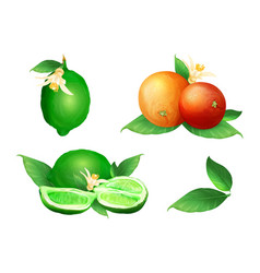 lime and orange citrus fruits vector image
