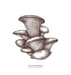 Oyster mushroom hand drawn food drawing vector