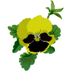 Yellow pansy flower with leaves and bud vector image