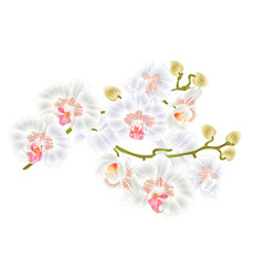 Branch orchids white flowers phalaenopsis vector