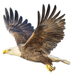 Bald eagle flying on white vector