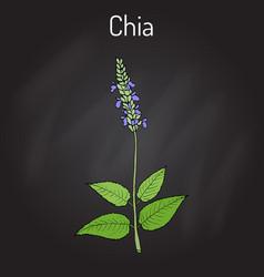 chia salvia hispanica healthy superfood vector image