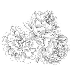 bouquet isolated peonies vector image