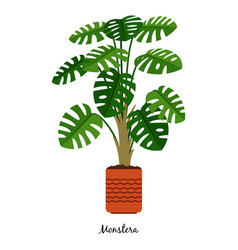 monstera plant in pot vector image