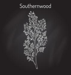 southernwood artemisia abrotanum or lad s love vector image