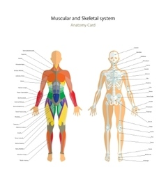 Anatomy guide Female skeleton and muscles map vector image
