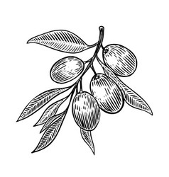 olive brunch in engraving style design element vector image