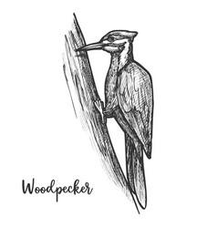 sketch woodpecker bird on tree pecker animal vector image