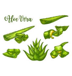 Aloe vera sketch plant leaves and juice drops vector