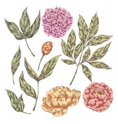 Peony flowers elements vector