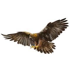 Golden eagle flying on white vector