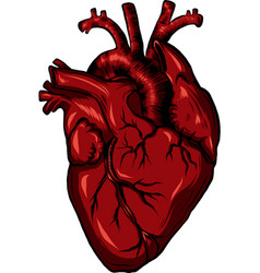 Real biology human heart red vector