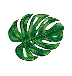 hand drawn monstera deliciosa tropical leaf vector image