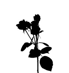 beautiful silane white and black roses isolated vector image