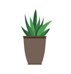 haworthia plant in black pot vector image