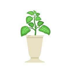 Dieffenbachia in white vase vector