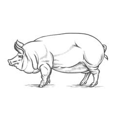 Engraving big pig or hog hand drawn vector image