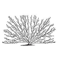 Modified fan training crop trees vintage line vector