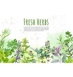 watercolkor bg with culinary herbs and plants vector image