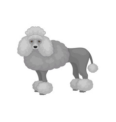 Flat icon of adorable toy poodle side view vector