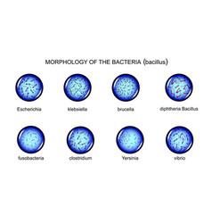 morphology of rod-shaped bacteria vector image