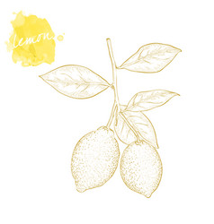 two juicy ripe lemon on a branch with leaves hand vector image