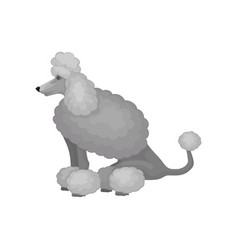 cute poodle in sitting position side view home vector image