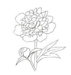 Hand drawn with peony flower vector image vector image