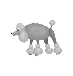 Curious poodle standing with raised tail isolated vector