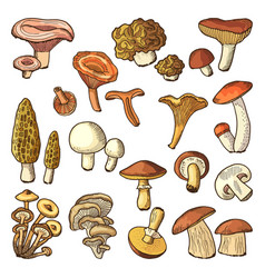 colored nature of mushrooms vector image
