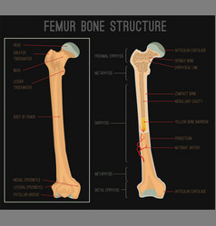 femur bone structure vector image
