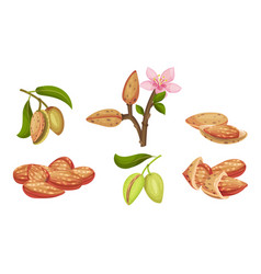 Almond kernel with green leafy branch and vector