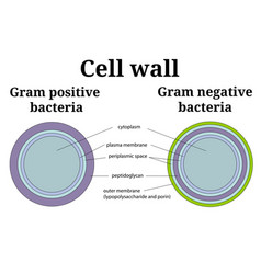 Bacteria cell wall gram positive and gram negative vector