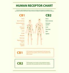 human receptor chart vertical infographic vector image