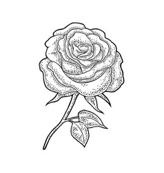 Rose flower with leaf black engraving vintage vector