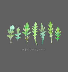 Set watercolor arugula vector
