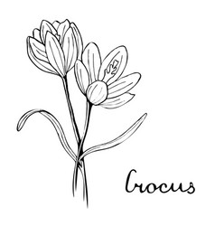 crocus flower botany vector image
