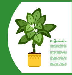 dieffenbachia plant in pot banner vector image