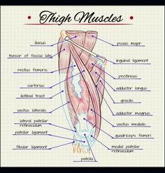 Human thigh muscles vector