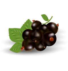 Realistic black currant with leaves vector