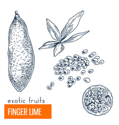finger lime hand drawn vector image vector image