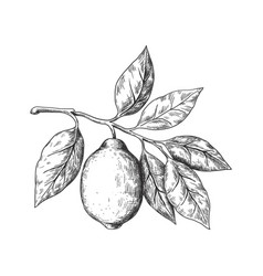 Hand drawn lemon sketch style fruit branch whole vector