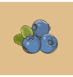 Bilberry in vintage style Colored vector