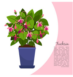 fuchsia plant in pot banner vector image