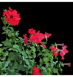 Petunia plant with red flowers vector